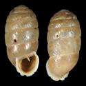 Orculella cretilasithi