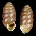 Orcula tolminensis