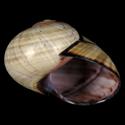 Polymita picta f. fuscolimbata multilineata