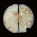 Ephippodonta macdougalli