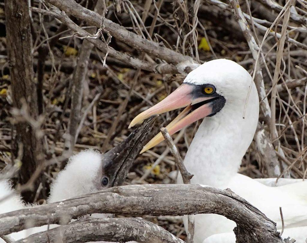 Genovesa - Islas Galápagos