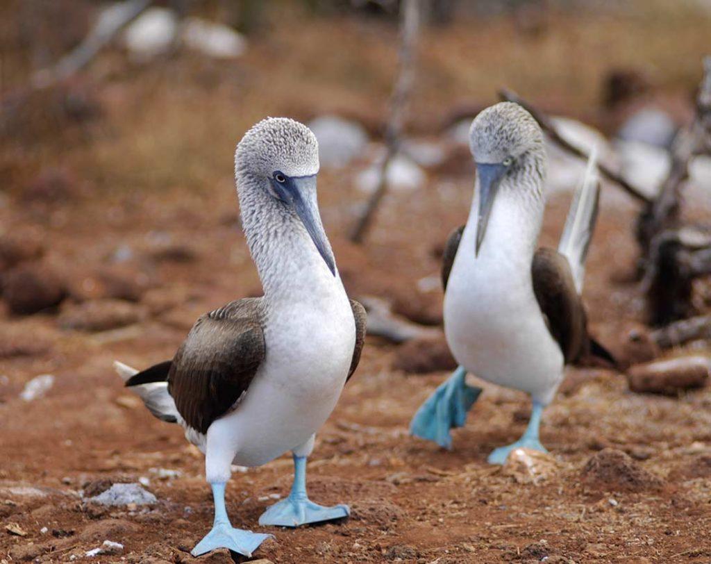 Seymour Norte - Islas Galápagos