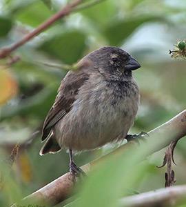 Galapagos land birds