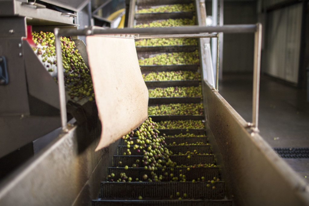 Olives moving on belts from storage to become extra virgin olive oil.