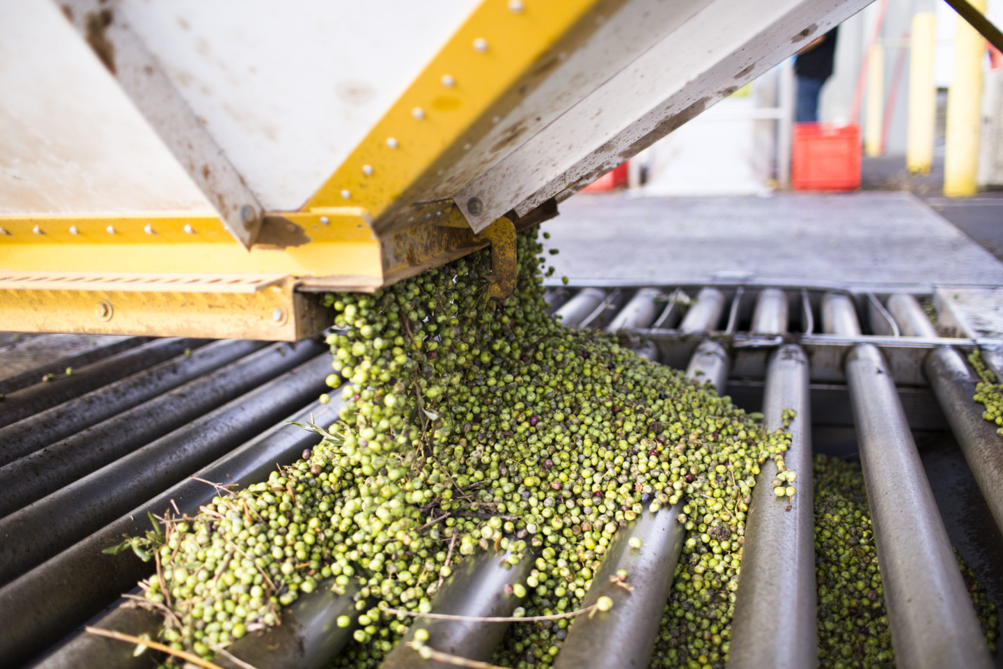 Olives being dumped into storage to become extra virgin olive oil.