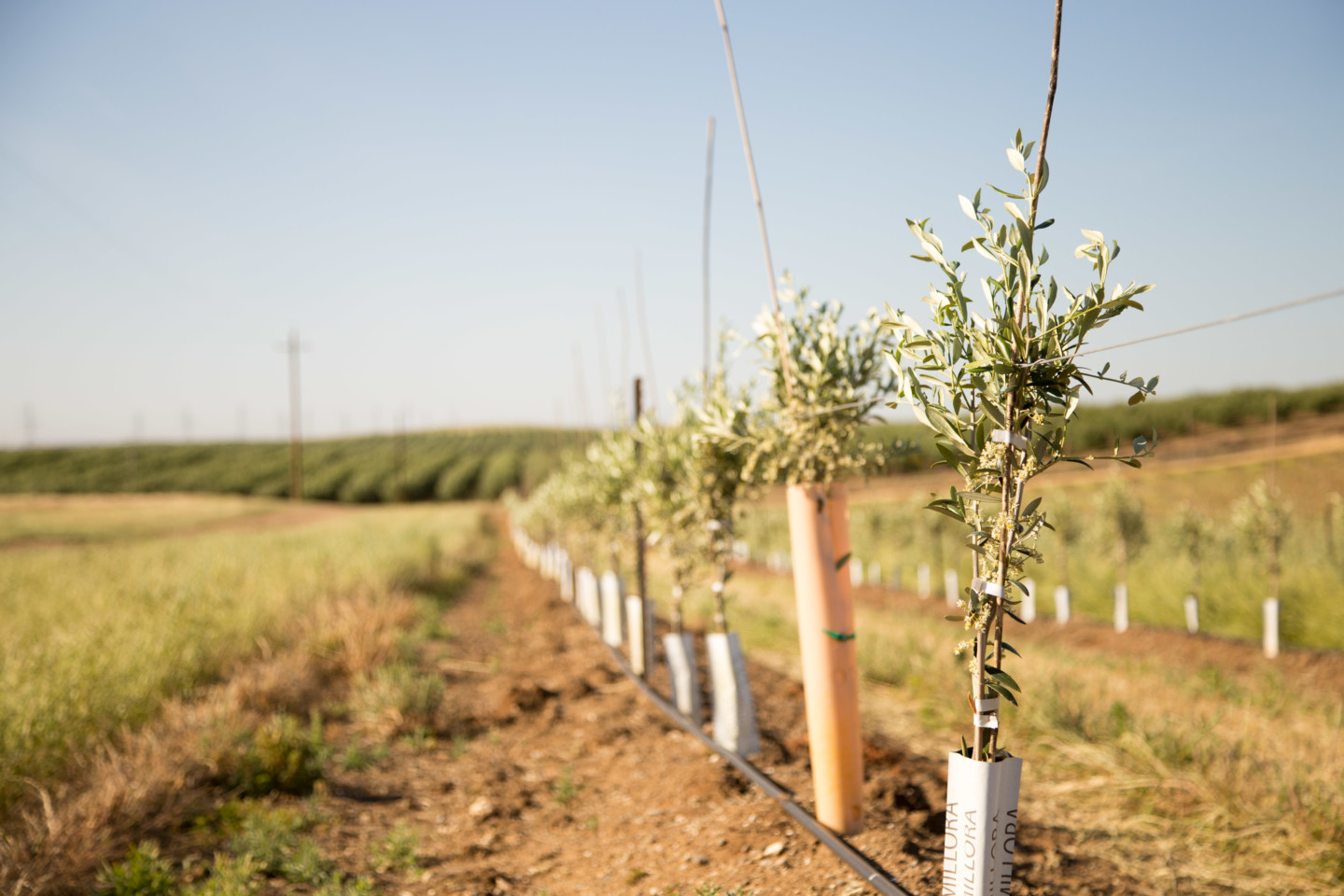 Newly planted olive tree saplings in a crop row.