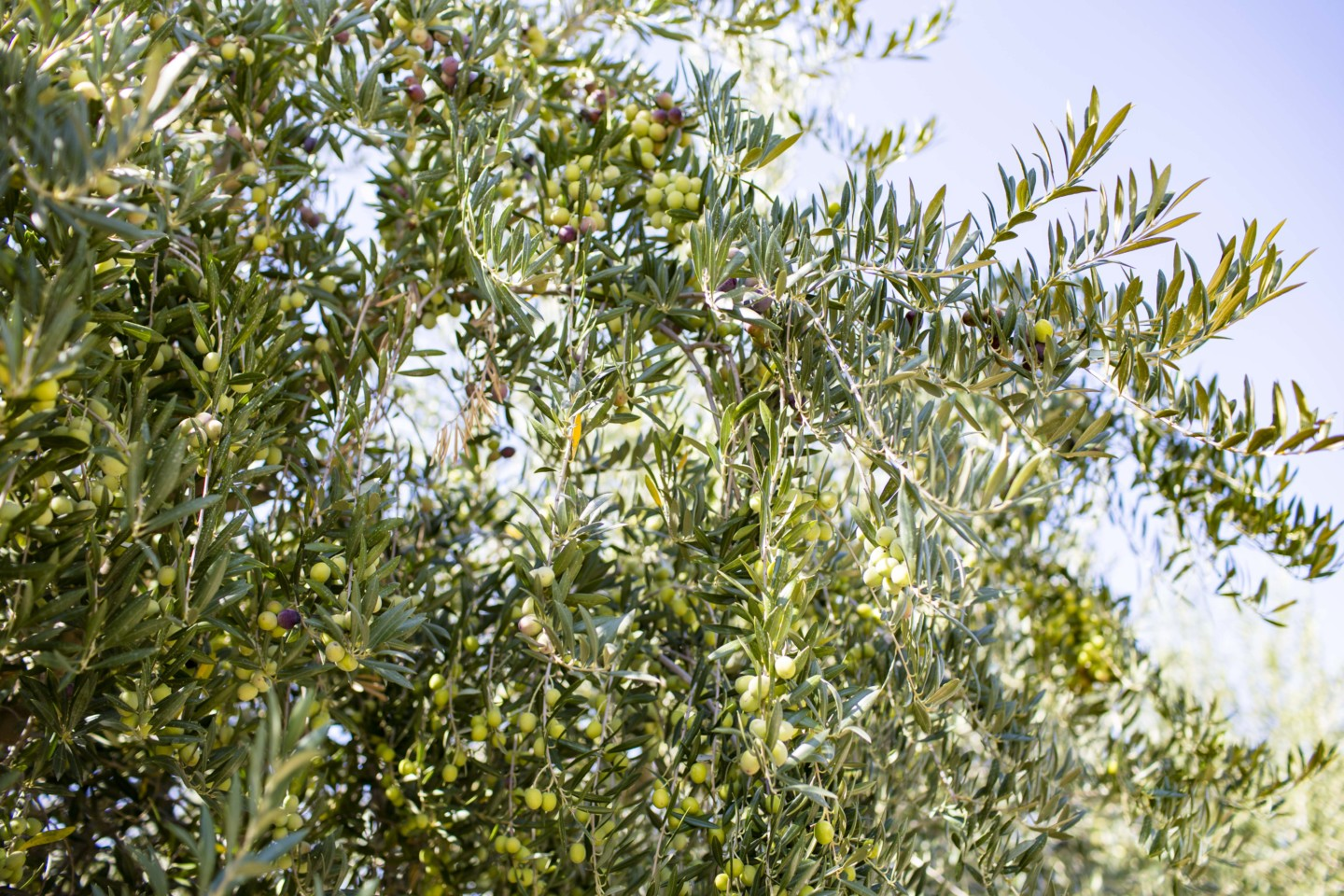 Olive trees, where we get our olives to press into extra virgin olive oil.