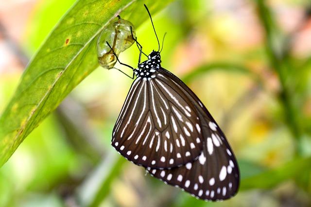 Evolución mariposa