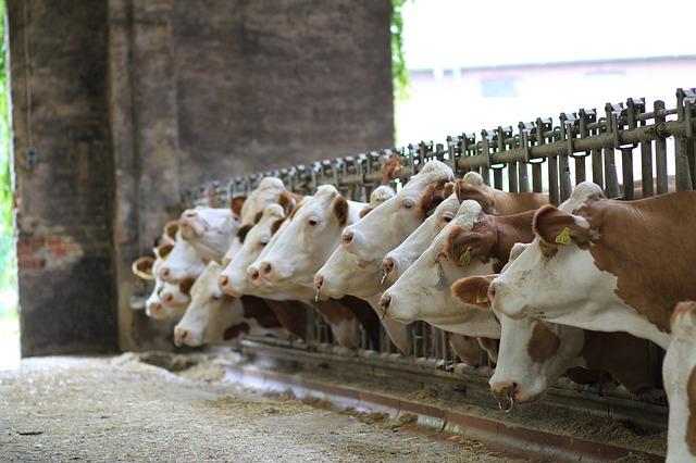 Vacas en la insdustria