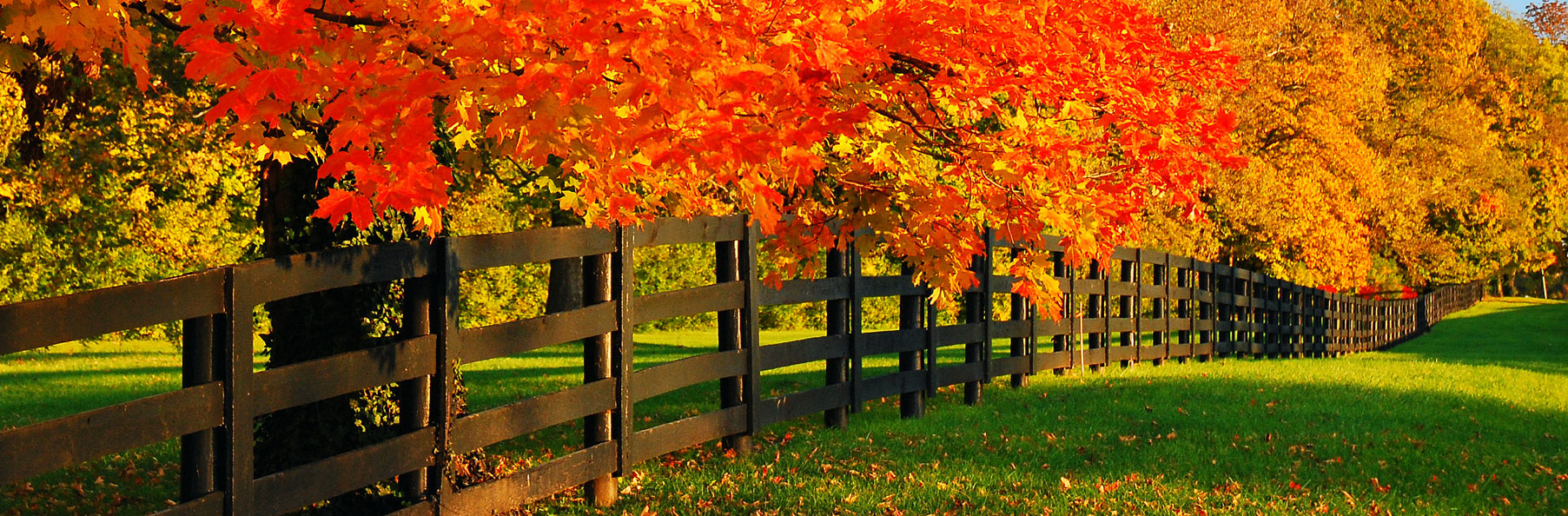 Trees turning yellow and red during fall all along a wooden fence