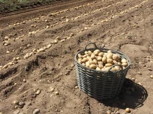 A Entracque è nato un Consorzio per la tutela della Patata