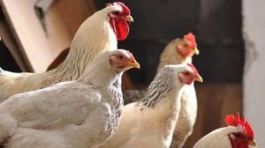 Aviaria: cessate le misure di protezione e sorveglianza