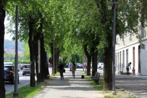 Ad Alba saranno abbattuti alcuni alberi della circonvallazione