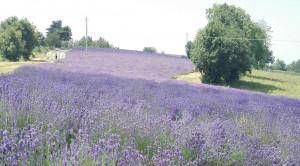 'Coltivare piante officinali è a tutti gli effetti attività agricola'