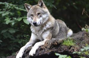 Bra: 'Settimana Verde' al Craveri e gita alla scoperta del lupo