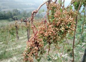 Grandina ancora in provincia di Cuneo, gravi danni per le coltivazioni