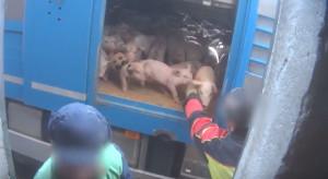 Maltrattamenti sui maiali in un allevamento cuneese: il video