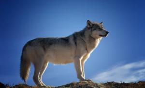 Venerdì a Chiusa Pesio la proiezione del documentario 'L'aritmetica del lupo'