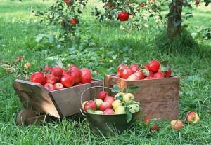 Raccolta mele, Coldiretti: 'Prospettive molto buone in provincia di Cuneo'