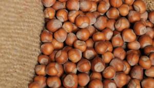 Iniziata anche in provincia di Cuneo la campagna di raccolta delle nocciole