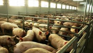 Coldiretti Cuneo: 'Stop immediato all'importazione di carne di maiale dal Belgio'