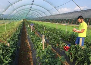Aziende di Confagricoltura impegnate nel rilancio del peperone 'Cuneo'