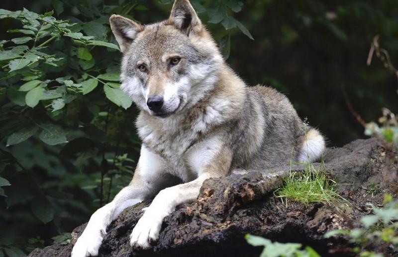 Sulle montagne cuneesi vivono 19 branchi di lupi for Immagini tigre da colorare