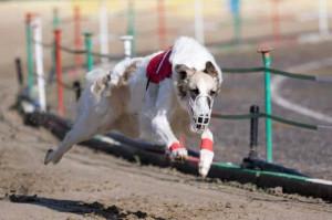 La vice campionessa mondiale di corsa per levrieri vive a San Bernardo di Cervasca