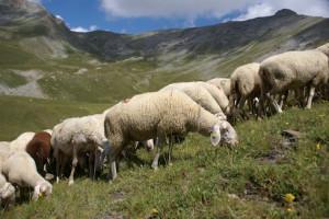 'La pecora sambucana messa in pericolo dalla presenza incontrollata dei lupi'