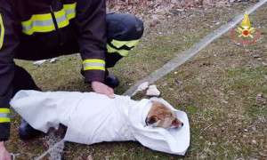 I Vigili del Fuoco salvano una volpe intrappolata in un pozzo da tre giorni