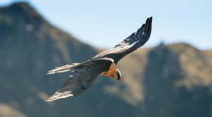 'Il gipeto e gli altri': a Valdieri un aggiornamento dei dati sull'avifauna alpina