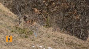 Guarito e libero il lupo 'Giorgio', avvelenato in valle Stura