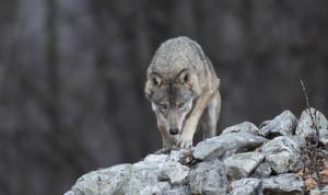 Il progetto 'Life Wolfalps' tra i finalisti al LIFE Awards 2019