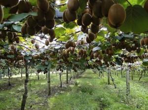 Dalla Regione Piemonte 1,8 milioni di euro per la riconversione dei frutteti di kiwi colpiti da morìa