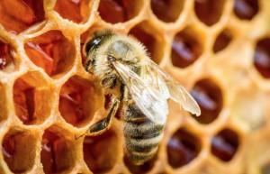 Freddo e maltempo, Coldiretti: 'SOS per il miele cuneese'