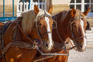 Cuneo, domenica sarà possibile fare il giro della città su una carrozza trainata da cavalli