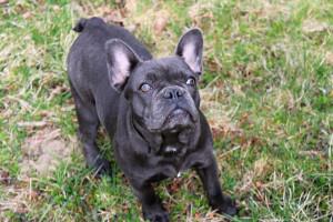 Mondovì, truffa a un medico: pagò 600 euro per un cucciolo di bulldog francese