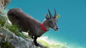 I parchi delle Alpi Marittime e del Mercantour cercano gli stambecchi marcati e lanciano #beccalostambecco