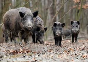 Controllo della fauna selvatica, Coldiretti Cuneo: 'Buone notizie per l'agricoltura e la sicurezza pubblica'