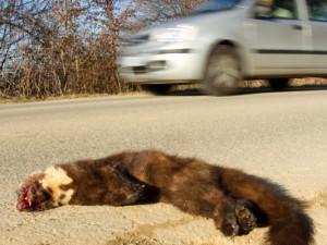 Al via un progetto per capire quanti sono gli animali selvatici uccisi dalle auto