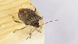 Individuato un insetto locale per contrastare la cimice asiatica