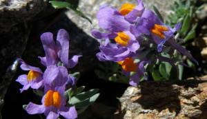 Sabato a Vernante una serata sui fiori delle Alpi Liguri e Marittime