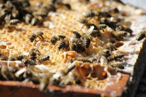 Annata amara per il miele, Confagricoltura chiede sostegni per i produttori