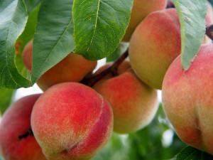 Coldiretti: 'I produttori di pesche costretti a regalare la frutta all'industria'