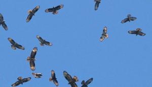 Appuntamenti a Paesana e Demonte per osservare la migrazione dei rapaci verso l'Africa