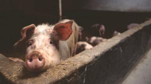 Busca, denunciò il furto di un maiale: pestato per vendetta dagli 'amici'