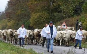 Ad Elva arriva 'Caluma el vache', la discesa dagli alpeggi con Confagricoltura