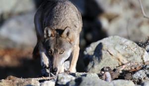 La Commissione Europea ha rinnovato la fiducia al progetto 'LIFE WolfAlps'