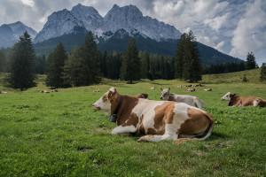 Nessuna frode sui fondi europei per gli alpeggi: assolti cinque allevatori