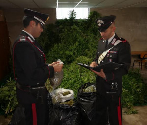 San Benedetto Belbo, tre arresti per sequestro di una piantagione di marijuana